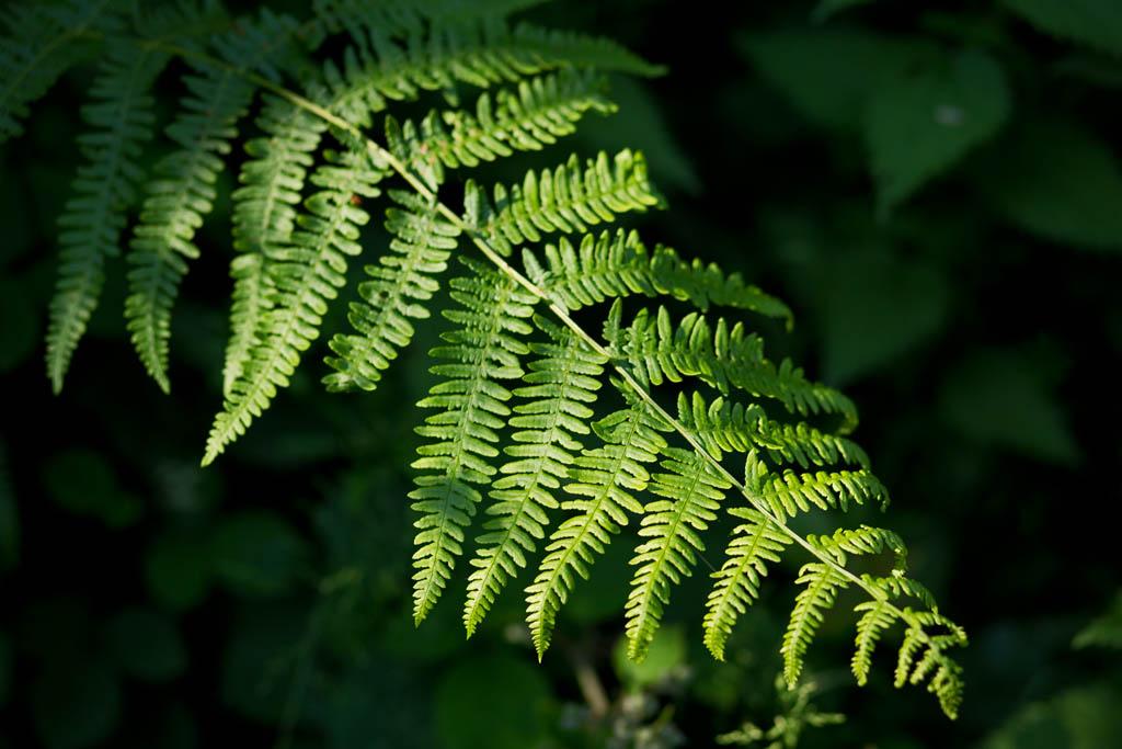 Photo of a fern
